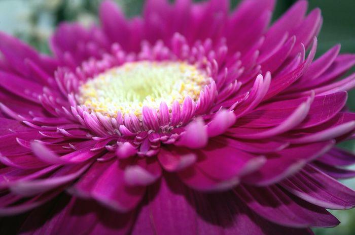 Dark Pink By Motorola Flower Beautiful Summerfeeling