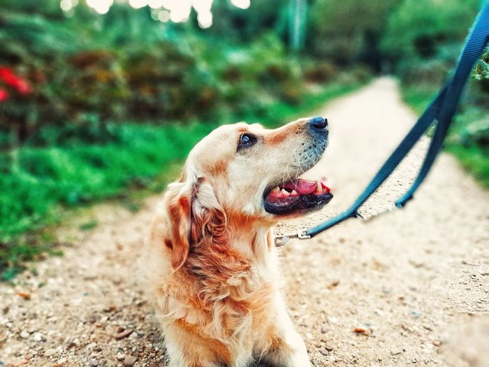 Bestfriend EyeEm Dogs EyeEmNewHere First Eyeem Photo Looking Dog Leash Golden Retriever Lovely Dig Pets Protruding Dog Sand Sticking Out Tongue Close-up Retriever