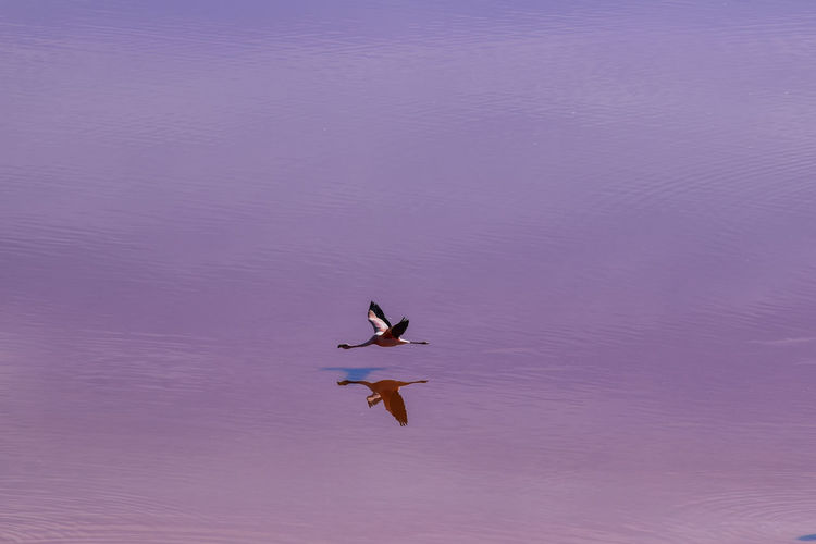 Flamingo flying over rippled water