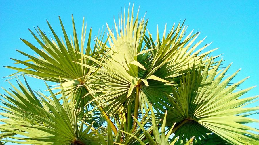 Green Color Nature Beauty In Nature Plant Growth Sky Freshness Close Up Patterns In Nature Texture Backgrounds Backdrop Concept Wall Art Wallpaper Clear Sky Sunlight Leaf Outdoors Palm Leaf Low Angle View Art Ornamental Plants Plant Part