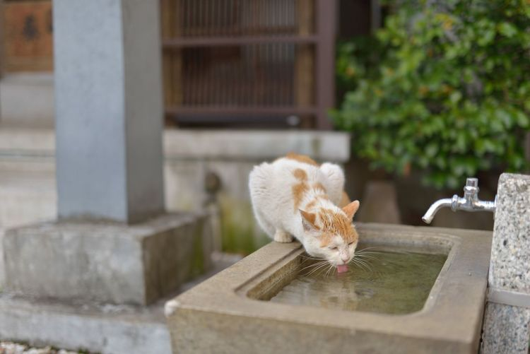 Cat Cats Cat♡ Drinking Animal Animal Photography Nature Cute Cityscapes Walking Around Hello World Relaxing From My Point Of View Showcase March Eye4photography  EyeEm Best Shots EyeEm Best Edits Snapshot Snapshots Of Life Street Streetphotography Nikon Nikonphotography Sigma50mm1.4Art Japan