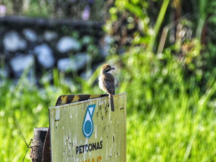 Brown Shrike ft. Petronas Shrike Brown Shrike Birds Of Prey Nature Photography Leaves Nikon D5000 Tree Bokeh EyeEm Selects Bird Animals In The Wild One Animal Animal Wildlife Animal Themes Perching Day EyeEm Ready   EyeEmNewHere