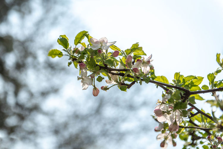 Apple Apple Tree Apple Blossom Backlit Backlight Copyspace Copy Space Blooming Blossom Fruit Tree Fruit Natural Beauty White Pink Color Green Flora Outdoors Plant Part Leaf Nature Day Growth No People Close-up Fragility Vulnerability  Freshness Beauty In Nature Plant Flowering Plant Flower