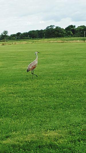 Animal Themes Bird One Animal Nature Animal Photography Wildlife EyeEm Nature Lover Bird Photography Birds Of EyeEm  Birdwatching Crane Bird Crane Crane Watching Willams Bay,Wisconsin