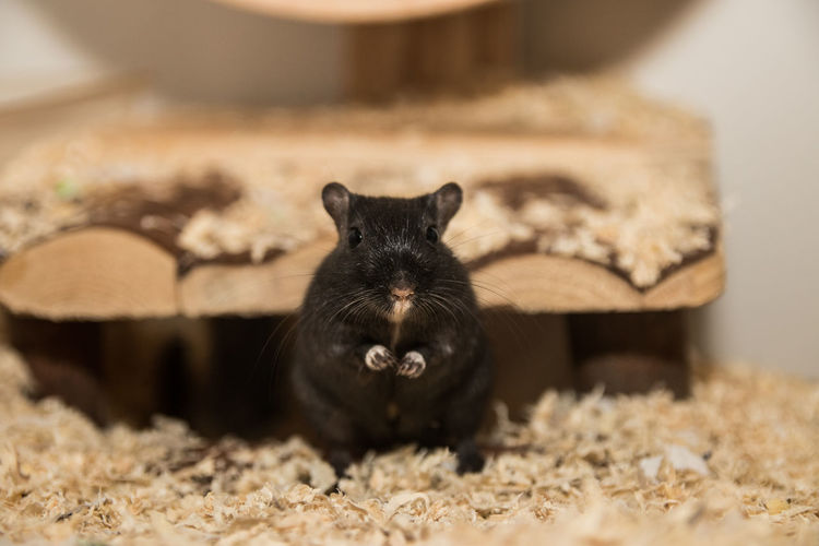 Close-up of mouse on sawdust