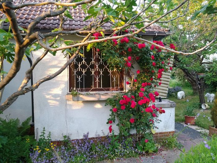Potted plants hanging by tree outside house