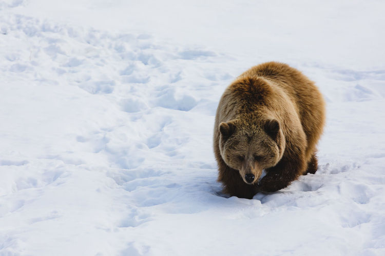 Snow One Animal Cold Temperature Mammal Animal Themes Animal Winter Animals In The Wild Animal Wildlife Nature Vertebrate Bear Day No People Field White Color Outdoors Covering Bear Winter Russia FootPrint EyeEm Nature Lover Lonely Searching