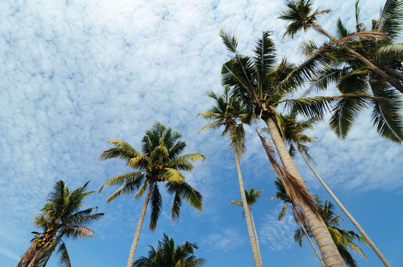 beautiful nature, coconut tree at tropical beach,cloudy blue sky background Beauty In Nature Blue Cloud - Sky Coconut Palm Tree Day Directly Below Green Growth Low Angle View Nature No People Non-urban Scene Outdoors Palm Frond Palm Tree Scenics Sky Tall Tall - High Tranquil Scene Tranquility Tree Tree Trunk Treetop Tropical Tree