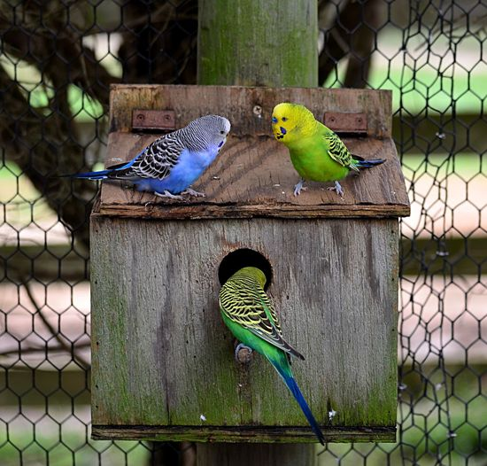 Close-up of budgerigars at birdhouse