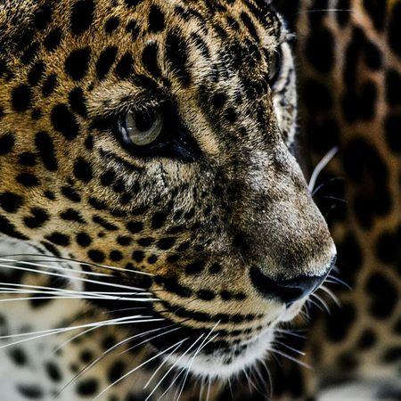 Cheetah Cat Wild Bigcats Travel Colorful Amazing Eyes Dangerous Safari Africa