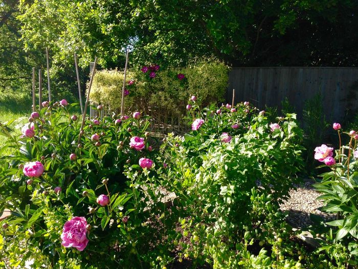 Peonies inter planted with gooseberries and blackcurrants. Growing Our Own