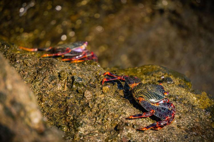 Crabs Rocks