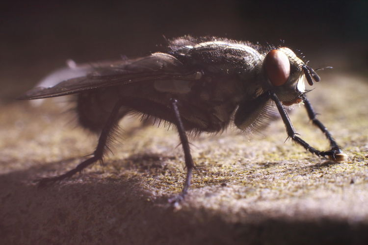 Flying Insect Winged Winged Insect Fly Eyes