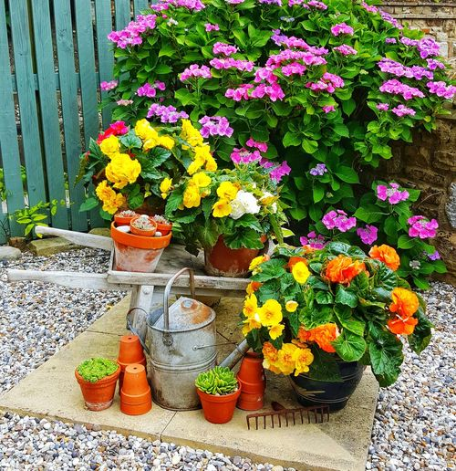 Begonia Begonia Plant Display Garden Flower Garden Photography Garden Gardening Freshness Hobby Bulbs Flower Flower Head Multi Colored Potted Plant High Angle View Close-up Plant Display Blooming In Bloom Plant Life Fragility