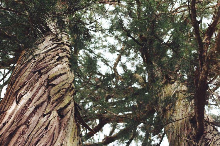 夫婦杉 戸隠火之御子社にて Nature EyeEm Nature Lover Relaxing Tree_collection  Tree 戸隠 Japan Love Couple 杉