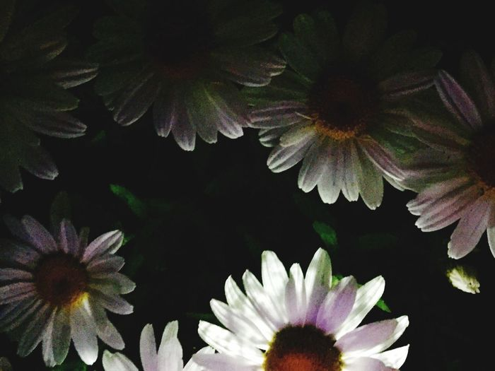Night Daisies... Flower Petal Fragility Nature Beauty In Nature Growth Flower Head Freshness Plant Pollen Blooming No People Leaf Day Close-up Outdoors