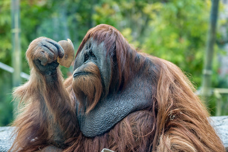 Orangutan (ape) eating fruits Ape Borneo Eating Endangered Species INDONESIA Orang-Utan Pongo Sumatra  UTAN Animal Themes Brown Close-up Day Expression Hairy  Mammal Monkey No People Orangutan Orangutans Outdoors P. Abelii P. Pygmaeus Rainforest Wildlife