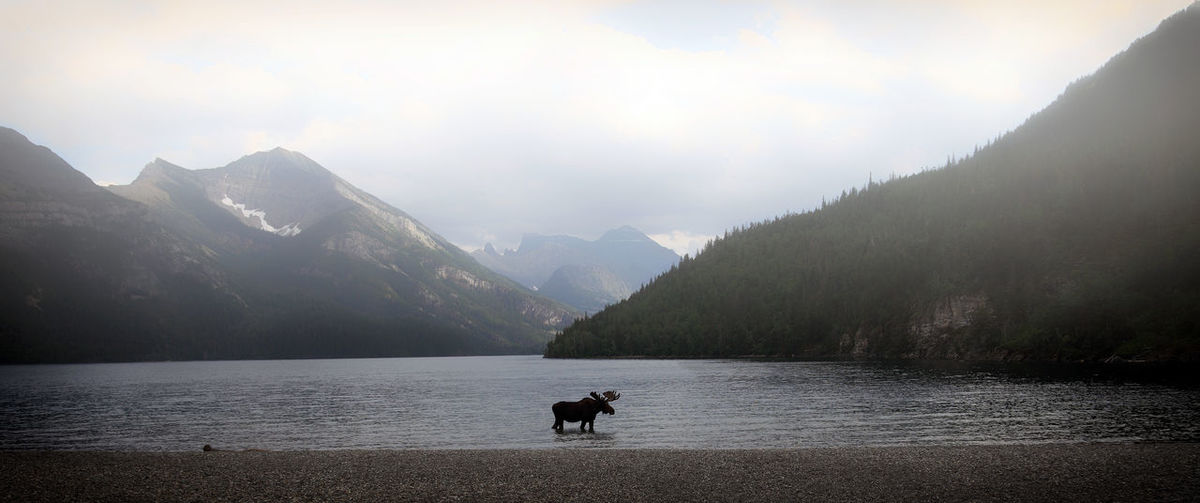 moose in a mountain lake on a foggy day in alberta, canada Water One Animal Animal Themes Animal Mountain Beauty In Nature Nature Mountain Range Lake Scenics - Nature Non-urban Scene Moose Bull Moose Rocky Mountains Waterton Lakes National Park Mountain Lake Panorama Panoramic View Wildlife Wildlife Canada Canada Alberta Foggy Morning Foggy Day Wild Animals