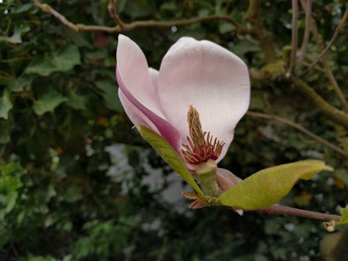 Pink Color Beauty In Nature Flower Nature Plant Fragility Growth Freshness Petal Flower Head No People Close-up Outdoors Day Pale Pink Maroon Magnolia Magnolia Blossoms Dying Flowers Bloomed Tree