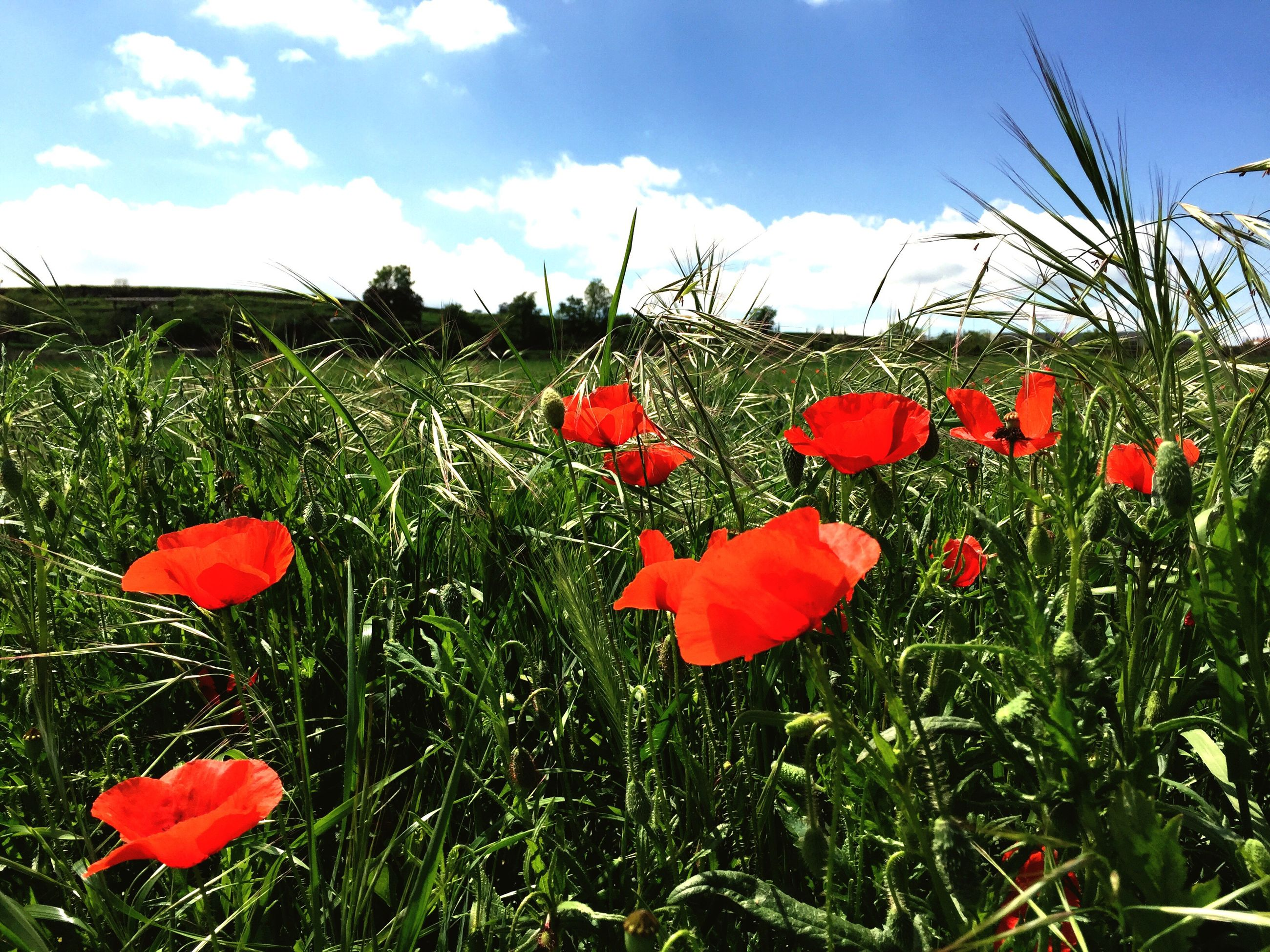red, poppy, grass, flower, field, growth, beauty in nature, sky, freshness, nature, fragility, landscape, plant, tranquility, tranquil scene, meadow, petal, scenics, wildflower, stem