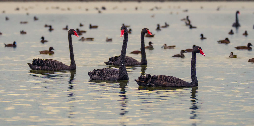 swans Water Bird Animals In The Wild Waterfront Animal Themes Group Of Animals Animal Animal Wildlife Vertebrate Lake Large Group Of Animals Nature Swimming Day Swan Beauty In Nature No People Black Swan Outdoors Flock Of Birds Floating On Water