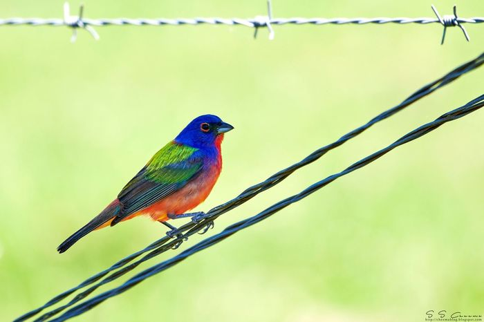 Painted Bunting. One of the most colourful birds I have ever seen. Texas,USA Birds In Wild Painted Bunting Animal Wildlife Animal Themes Animals In The Wild One Animal Bird