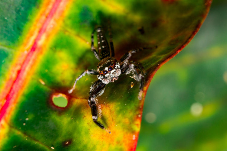 Macro Photography Nature Photography Travel Animal Themes Animal Wildlife Animals In The Wild Beauty In Nature Close-up Day Focus On Foreground Fragility Green Color Insect Jumping Spider Macro Nature No People One Animal Outdoors Palau Spider