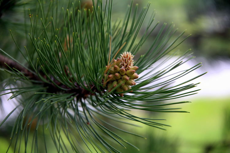 Side view of a young pine cone growing among pine needles, with blurred background