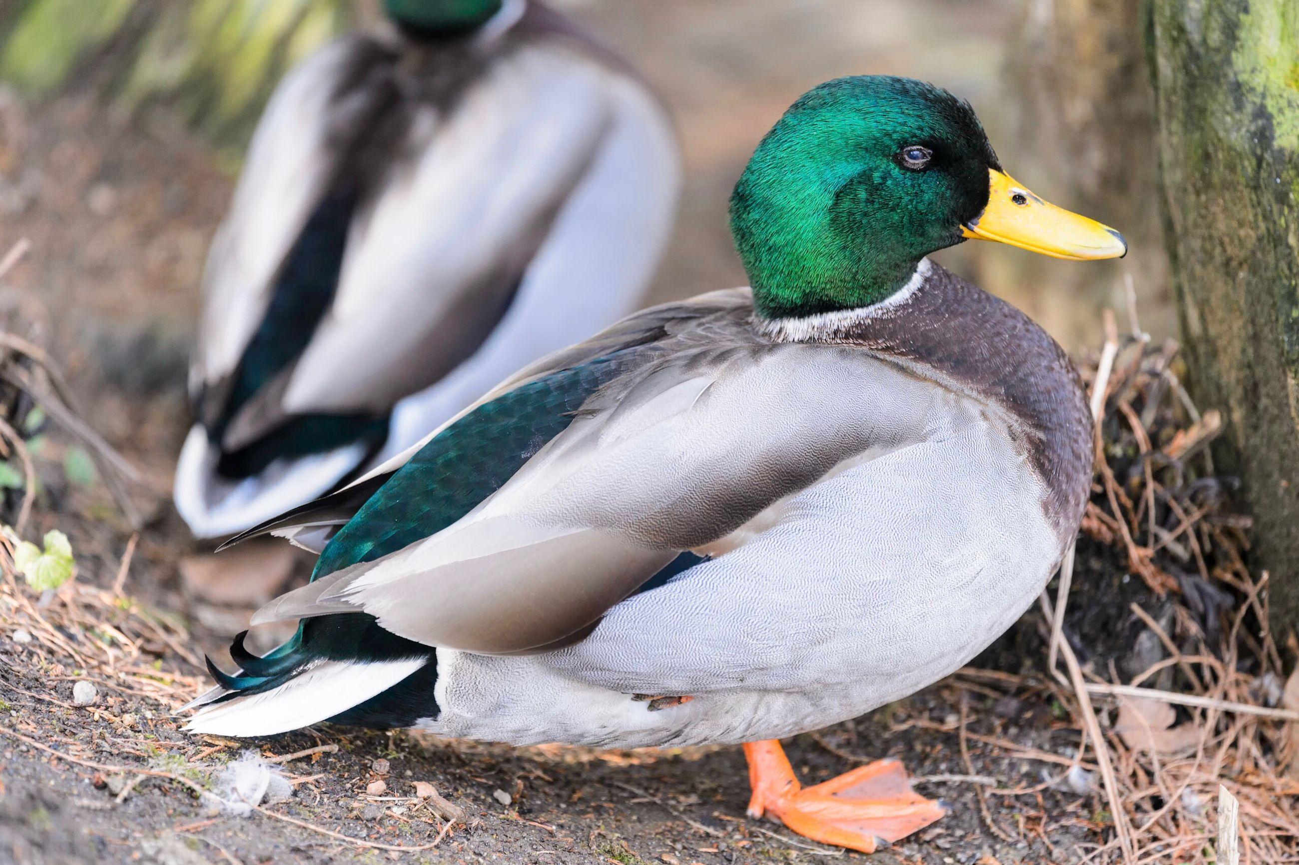 bird, animal themes, duck, female animal, mallard duck, animals in the wild, animal wildlife, close-up, water bird, outdoors, peacock, beak, no people, nature, mandarin duck, day