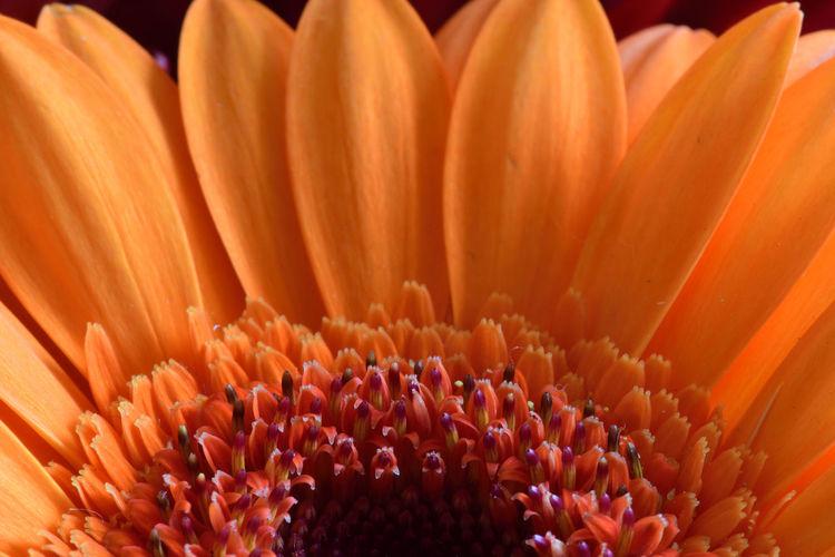 Full frame shot of orange flowering plant