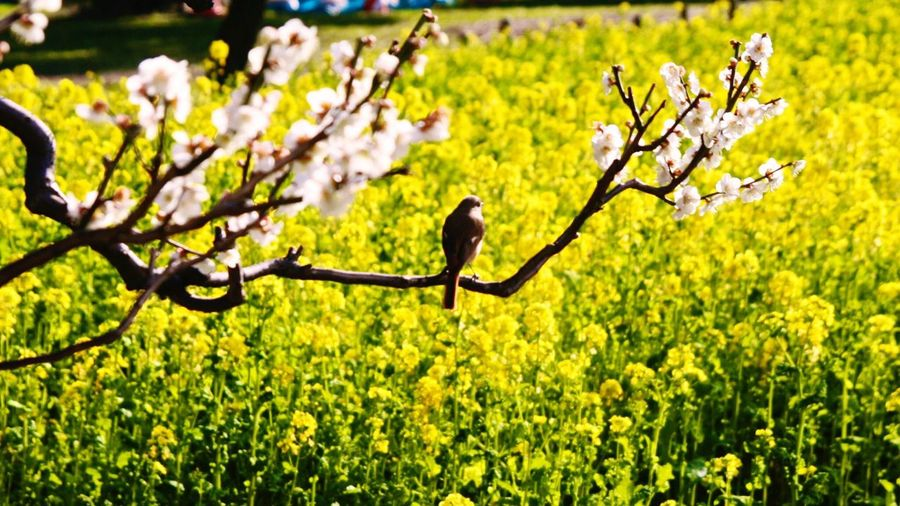 Animals In The Wild One Animal Animal Themes Bird Perching Nature Animal Wildlife No People Tree Songbird  Outdoors Day Blooming Plum Blossom Mustered Filed Photography