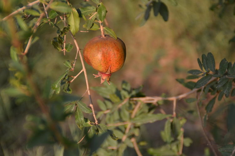Shrub Farm Fruit Tree Branch Nature Pomegranate Plant Qassim Saudi Arabia Freshness Leaves🌿 Fruit Tree Fruit Photography Spring Healthy Healthy Eating Harvesting Harvest Harvest Season Picking Pick Farm Life Country Life Countryside Sunset Time Natural Plants 🌱 Plant Life Plants Desert Desert Life Arab Arab Life Pomegranate Tree Pomegranate ❤