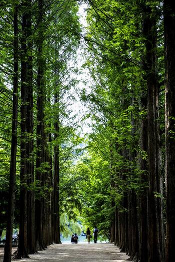 People walking between metasequoia trees