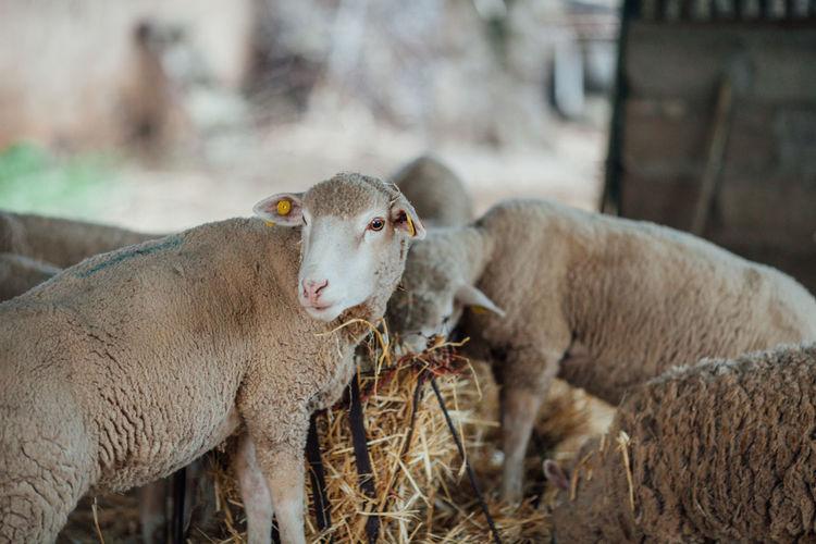 Bio Farm Portugal Portugal Oficial Fotos Colection EyeEm© Sheeps. Alentejo Animal Themes Domestic Animals Focus On Foreground Livestock Mammal Milk Nature No People Sheep Sheep Farm Sheeps Sheep🐑 Young Animal