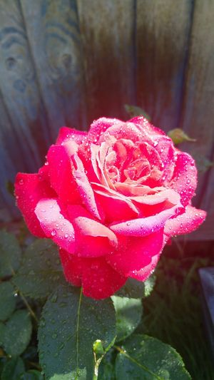 Rose - Flower Red Rose 🌹 After A Shower Flower Plant Petal Nature Red Flower Head No People Beauty In Nature Day Water Fragility Outdoors Close-up Growth Freshness