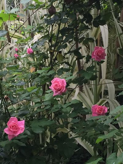 Rose Bush Flowers Flowers,Plants & Garden Nature Photography Enjoying Nature Flowering Shrubs God's Beauty