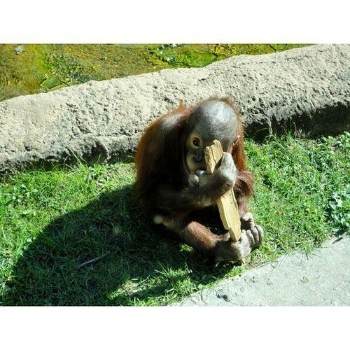 🐵 🍌 Instasize орангутанг примат животное жара лето Россия парнокопытное изархива Москва зоопарк нашел Классный фильтр Lookoutforthebeast Heat Summer Russia Fromthearchives Moscow Zoo Found Cool Filter Clovenhoofed animal primate orangutan
