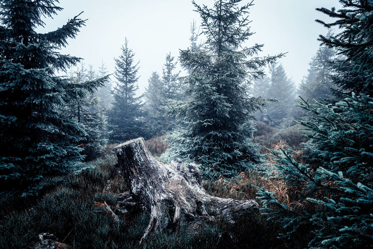 woodland Tree Plant Forest Beauty In Nature Land Nature Growth Scenics - Nature Winter Cold Temperature Tranquility No People Tranquil Scene Non-urban Scene Day Sky Snow Mountain Environment Outdoors Coniferous Tree Pine Tree Pine Woodland Snowing Harz