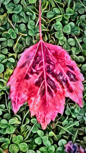 Nottooshabby Nothing Beats Nature Red Leaf Carries Picks The Silent Noticer EyeEm Gallery Showcase July Getty Images Love Photography My Year My View Oregon Art Oregon Oregonexplored Oregon Beauty Arts Culture And Entertainment Freshness The Portraitist - 2017 EyeEm Awards Special Moment Cloverleaf Red Leaves Colorful Leaves Feel The Journey Oregon State From My Point Of View Fragility Sommergefühle EyeEm Selects