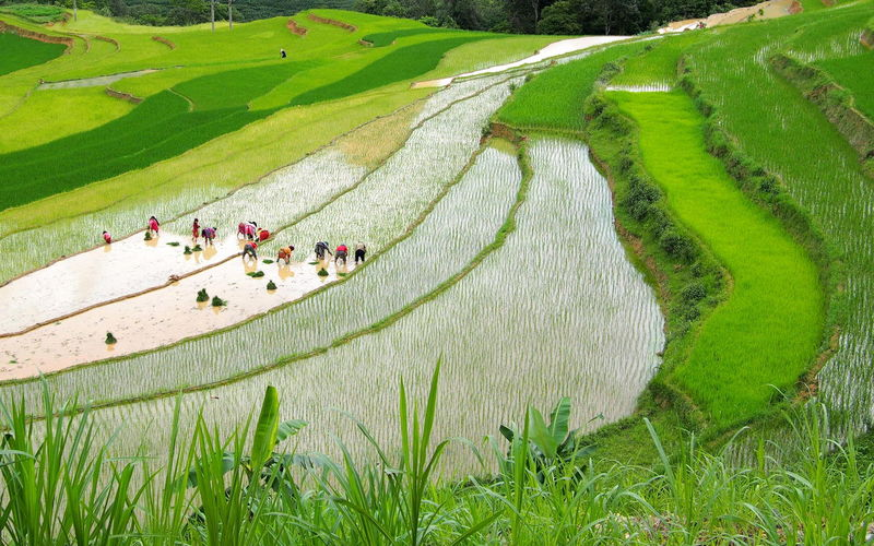 High angle view of people working on rice paddy