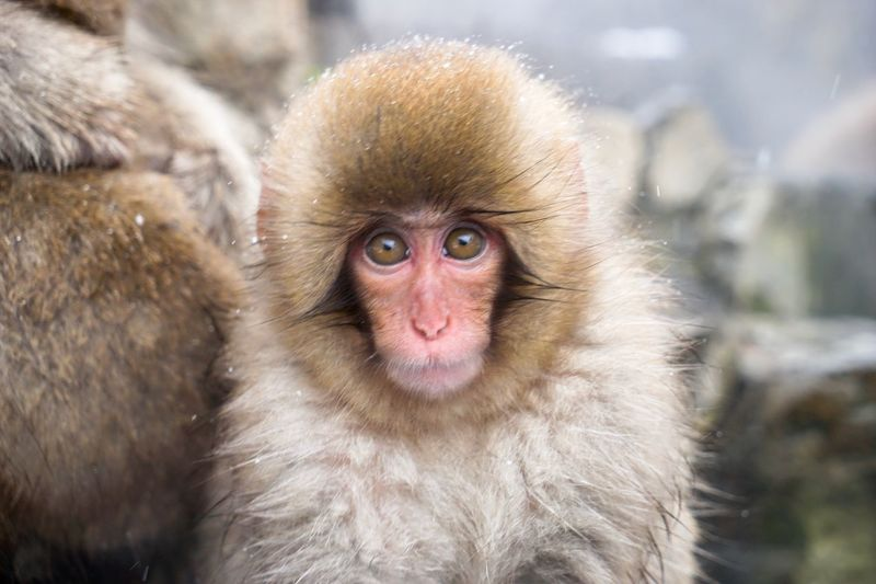 Animal Themes Animals In The Wild Mammal Monkey Portrait Outdoors Close-up No People Day Nature Animal Wildlife Snowmonkeys Hot Spring Nagano Prefecture,Japan Jigokudani-Snow-Monkey-Park Domestic Animals Christmastime Travel Destinations Ski Holiday Shigakogen  Japanese Macaque One Animal Cold Temperature Cute Animals Looking At Camera