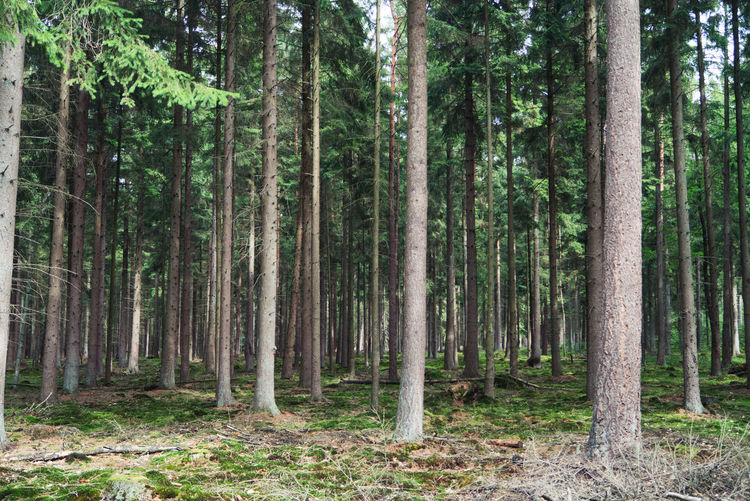 Pine trees and spruce trees in forest, lüneburger heide