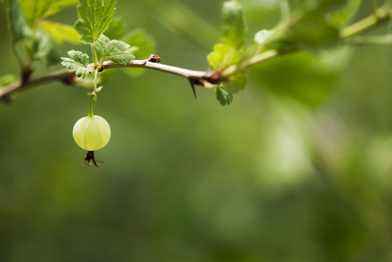A green gooseberry ripens on the branch in summertime. Agriculture Berries Berry Countryside Cuisine Cultivated Land Ecology Edible  Environment Flavor Flora Food Fresh Fruit Gooseberries Gooseberry Green Ingredient Nature Raw Ribes Season  Seasonal Summer Wild