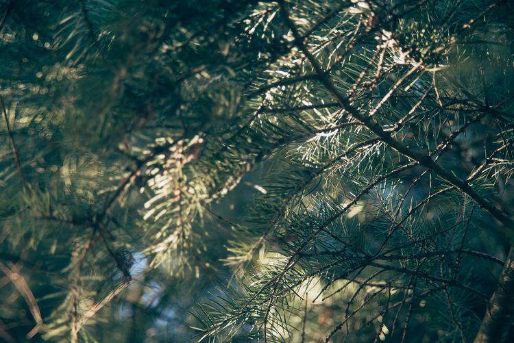 Full frame shot of pine tree branch outdoors