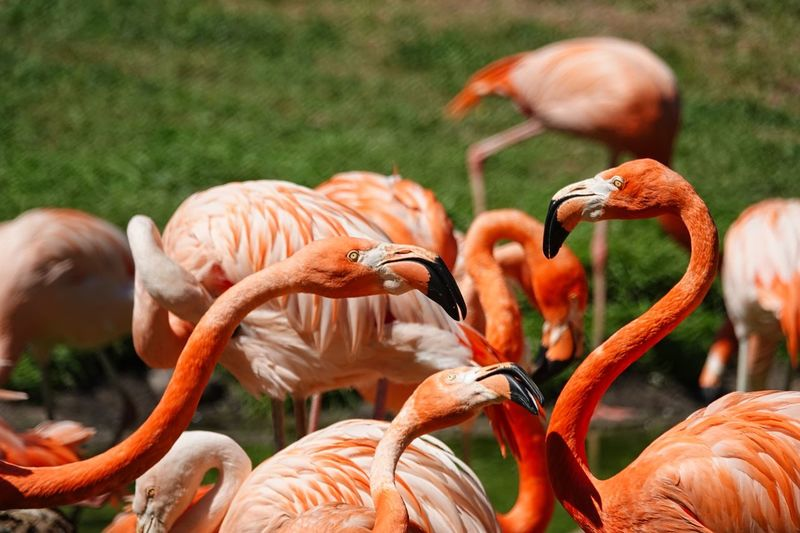 Flamingo Animals In The Wild Animal Animal Themes Group Of Animals Animal Wildlife Vertebrate Bird Large Group Of Animals No People Day Orange Color Nature Focus On Foreground Beauty In Nature Field Animal Neck Close-up Land Beak