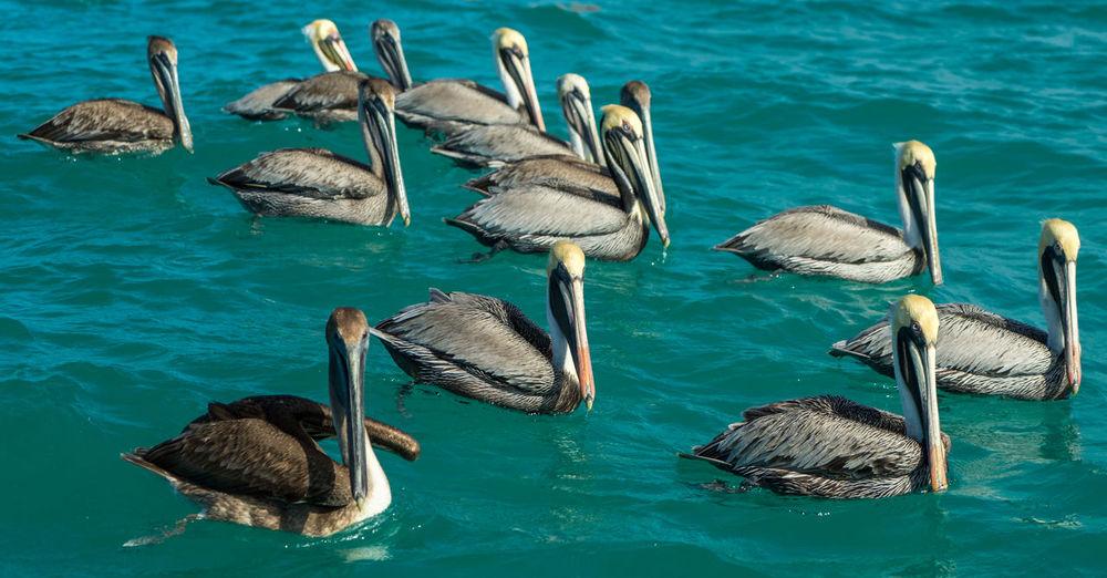 Pelicans in