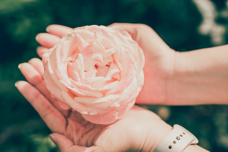 Close-up of hands holding rose