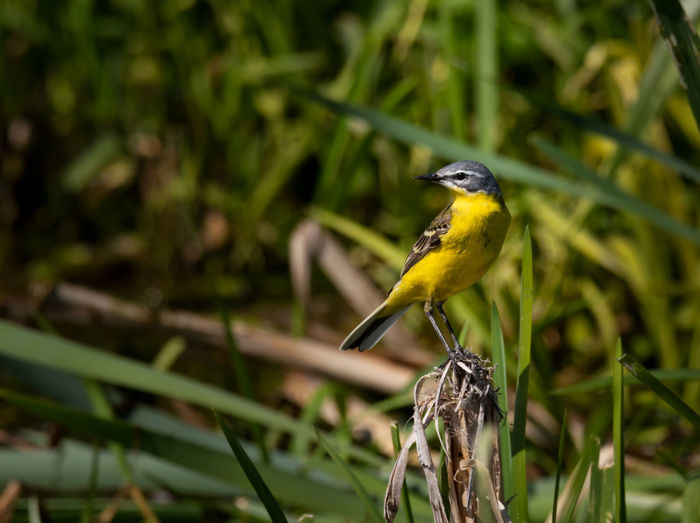 yellow wagtail - blue-headed wagtail Wagtail Animal Animal Themes Animal Wildlife Animals In The Wild Beauty In Nature Bird Blue-headed Wagtail Branch Close-up Day Focus On Foreground Green Color Nature No People One Animal Outdoors Perching Plant Vertebrate Yellow Yellow Wagtail