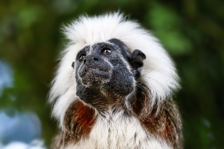 Cotton Top Tamarin Alertness Animal Body Part Animal Eye Animal Hair Animal Head  Animal Themes Close-up Day Focus On Foreground Looking Away Mammal Nature No People Outdoors Portrait Selective Focus