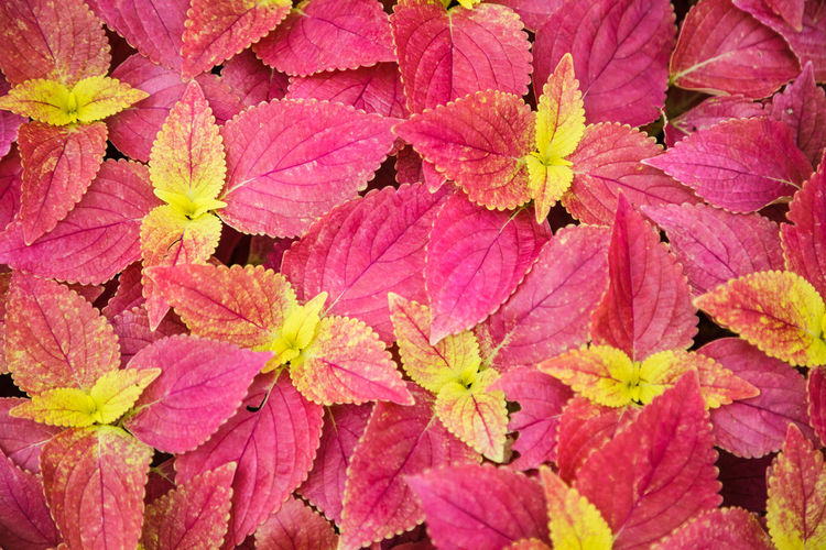 Red Bright Skullcaplike Coleus, Coleus Blumei, also named painted nettle background. They are cultivated as ornamental plants, which is popular as a garden plant for its bright colored foliage. Architecture Bright Coleus Coleus Blumei Ornamental Vivid Autumn Background Beauty In Nature Coleus Leaf Colorful Decoration Design Foliage Freshness Garden Landscape Leaf Leaves Nature Pattern Pink Color Plant Red Season